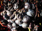 Grapes-05.JPG