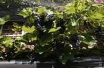 Grapes-01.JPG