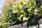 Grapes-02.JPG